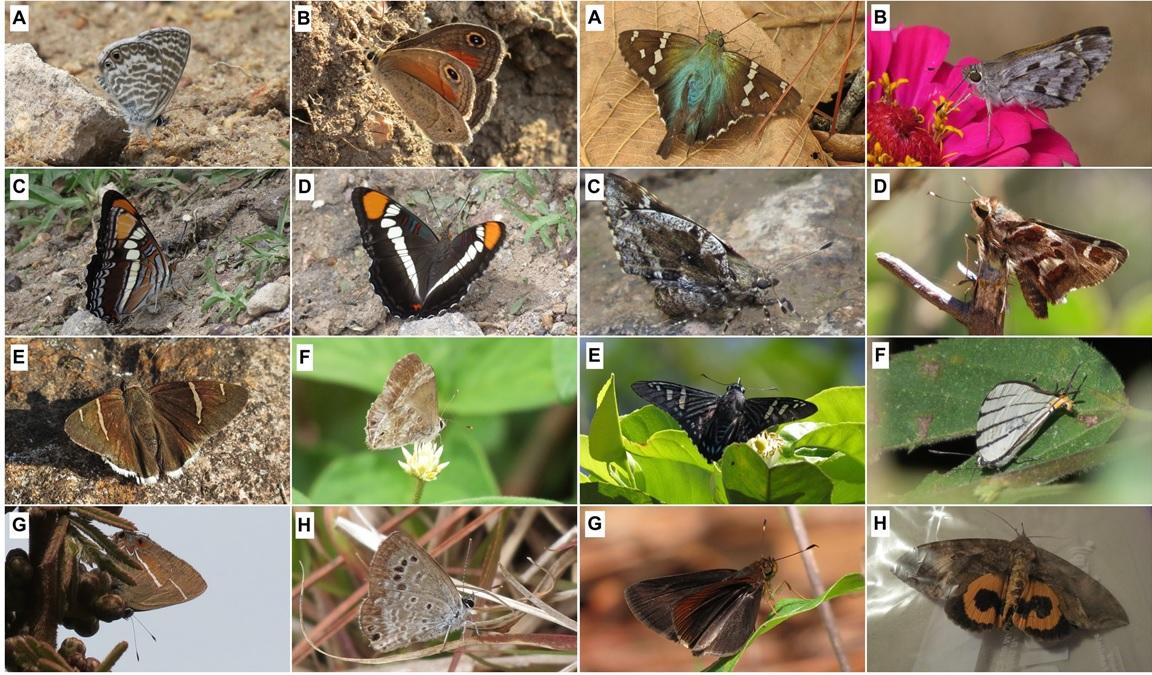 New lepidopterans